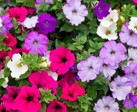 Градински център и оранжерия за цветя в Стара Загора - Разцвет Стоев