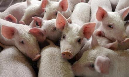 Лицензирана свинеферма за елитни прасета във Враца - Месни продукти Враца