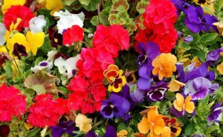 Продажба на цветя и облагородени дръвчета в Козлодуй - Градински център Детелина