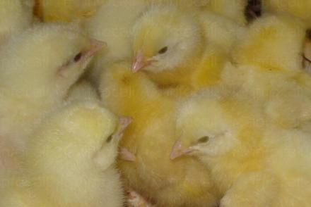 Производство еднодневни пилета в Поликраище-Горна Оряховица-Велико Търново - Лагал ЕООД