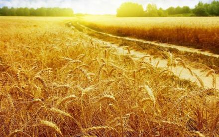 Производство на ечемик в област Разград - ППОК Единство Благоево