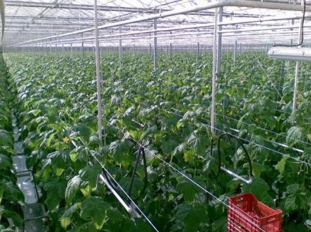 Производство на оранжерийни зеленчуци в Симитли - Росела АД
