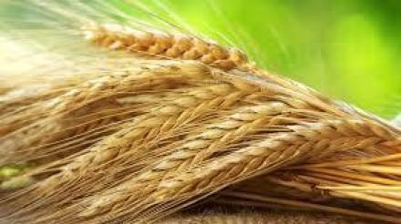 Производство на селскостопанска продукция в Кубрат - Селскостопанска продукция Кубрат