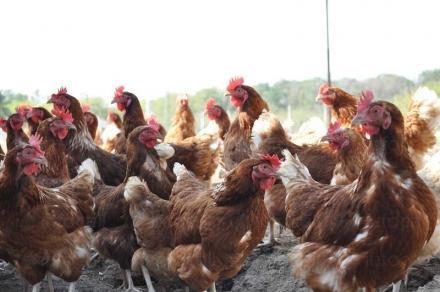 Птицевъдство в Габрово, Севлиево, Трявна - ЕКО ИНВЕСТ 2008