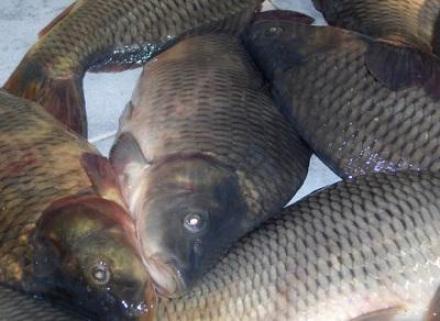 Внос и търговия с риба и рибни продукти в София-Орландовци - Риба и рибни продукти София