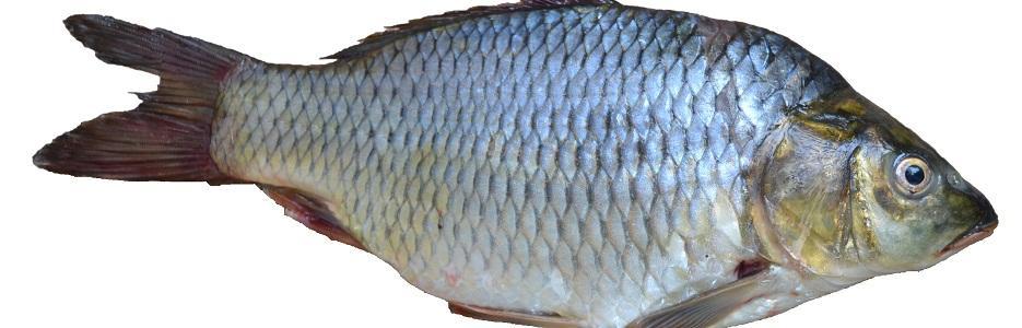 Риба Монтана - Infocall.bg
