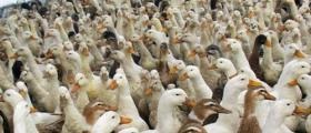 Птицеферма за патици в област Пловдив