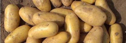 Продажба на семена за картофи холандски в област Силистра - ЗК 16 Декември