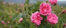 Казанлъшка маслодайна роза в Голямо Дряново-Казанлък