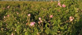 Казанлъшка роза