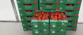 Оранжерийни домати в град Мездра