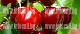 Овощни дръвчета в Езерче-Разград - Овощен разсадник Езерче