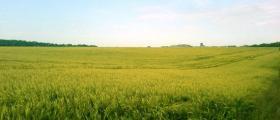 Пшеница в Липница - Враца