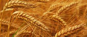 Пшеница в Стара Загора