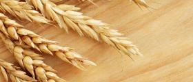Пшеница в Трън, Перник и София - Манчини
