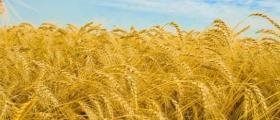 Слънчоглед и пшеница в Драгаш войвода-Никопол