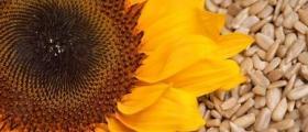 Слънчоглед в Каменец-Пордим