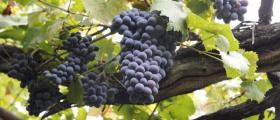 Винен сорт грозде Евмолпия в Добротица-Ситово - Винарска изба Опрев