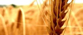 Зърнени и маслодайни култури в Кнежа-Плевен