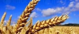 Зърнени култури в Болярово