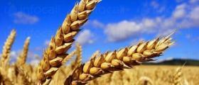 Зърнени култури в Карнобат