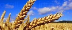 Зърнени култури в Русе