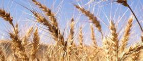 Зърнени култури в Студено буче-Монтана