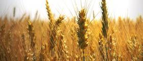 Зърнени култури в Тертер - Разград
