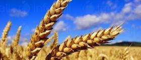 Зърнени култури в Трявна