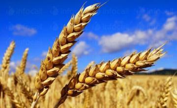 Пшеница в Дулово