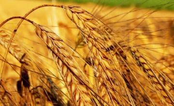 Пшеница в Каменец-Пордим