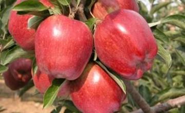 Сортове Ябълки в Пловдив