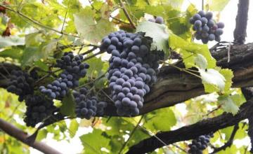 Винен сорт грозде Евмолпия в Добротица-Ситово