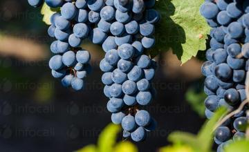 Винен сорт грозде Каберне Совиньон в Добротица-Ситово