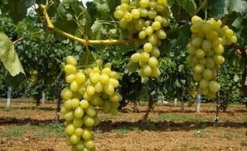 Винен сорт грозде Мискет в Добротица-Ситово - Винарска изба Опрев