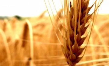 Зърнени и маслодайни култури в Кнежа-Плевен - Светлин Илчовски  ЕТ