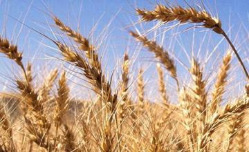 Зърнени култури в Студено буче-Монтана - КП Агротруд Инвест