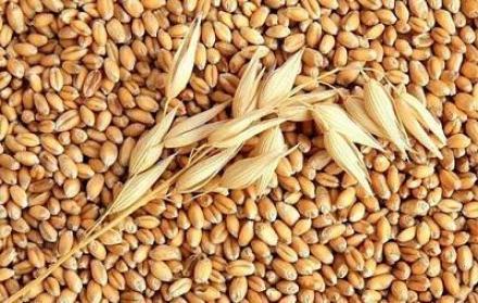 Ечемик, жито и слънчоглед в Чернолик-Силистра - Селскостопанска продукция Силистра