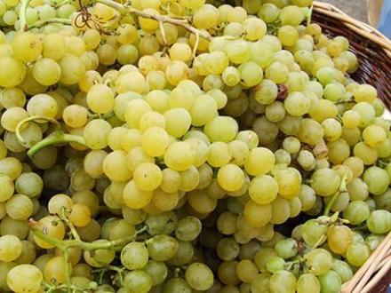 Лозов посадъчен материал в Плевен - Институт по лозарство и винарство