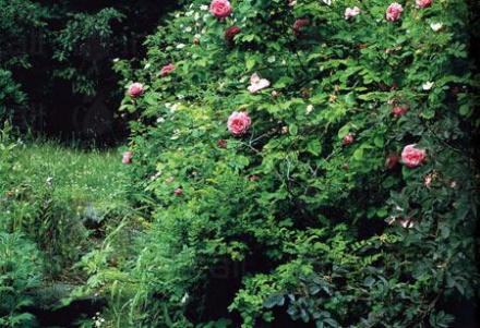 Посадъчен материал в Казанлък - Розово масло Казанлък