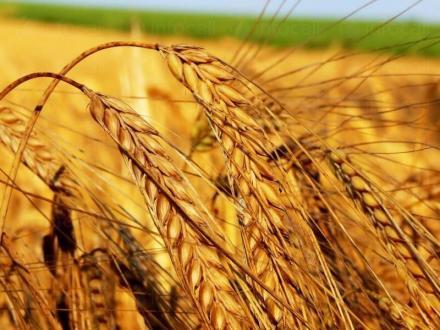 Пшеница в Каменец-Пордим - Селскостопанска продукция Пордим