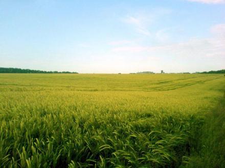 Пшеница в Липница - Враца - Кунчеви ООД