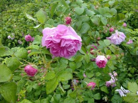 Разсад маслодайна роза в Казанлък - Елит Комерс 95 ООД