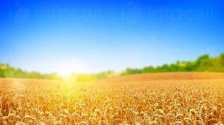 Селскостопанска продукция в град Червен бряг - Зърнопроизводител Червен бряг