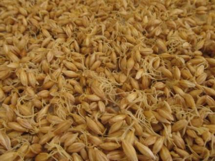 Семена ечемик за малц Стара Загора - Агрекс  ЕООД