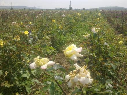 Щамбови рози - дърво в Павликени и Велико Търново - Разсадник Велико Търново ЕООД
