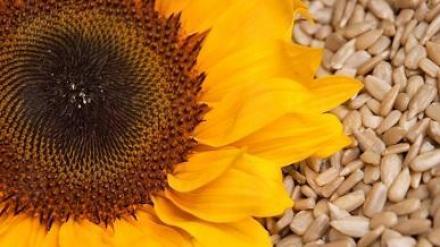 Слънчоглед в Каменец-Пордим - Селскостопанска продукция Пордим