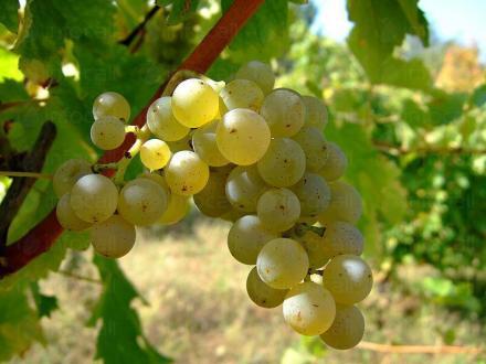 Винен сорт грозде Траминер в Добротица-Ситово - Винарска изба Опрев