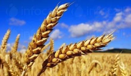 Зърнени култури в Болярово - Стоян Станков Вес ЕТ