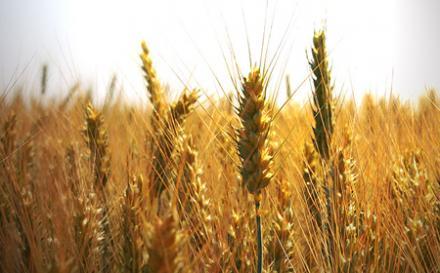Зърнени култури в Тертер - Разград - ППК Добруджа